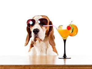Bilder Hunde Saft Cocktail Weißer hintergrund Brille Weinglas Beagle Tiere