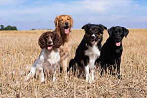 Fotos Hunde Border Collie Spaniel Retriever Zunge Starren Labrador Retriever
