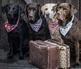 Bilder Hunde Retriever Koffer Blick Labrador Retriever Tiere