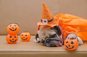 Fotos Hunde Kürbisse Halloween Mops (Hunderasse) Der Hut Schläft Zunge Farbigen hintergrund Tiere