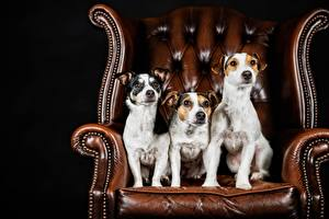 Photo Dogs Three 3 Wing chair Jack Russell terrier Animals