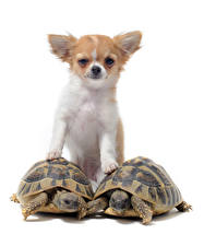 Wallpaper Dogs Turtles White background Chihuahua Staring Animals