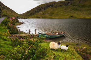 Pictures Ireland Sheep Lake Coast Boats Hill Grass Salrock Nature Animals