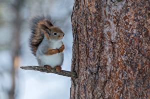 Fotos Eichhörnchen Baumstamm