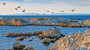 Sfondi desktop Stati uniti La costa Uccelli Gabbiani Mare Pietre California Natura