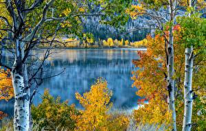 Hintergrundbilder USA See Herbst Kalifornien Birken Bäume June Lake