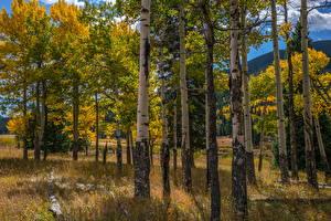 Bilder USA Park Herbst Bäume Birken Rocky Mountain National Park Natur