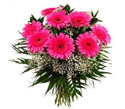 Hintergrundbilder Sträuße Gerbera Weißer hintergrund Rosa Farbe Blüte