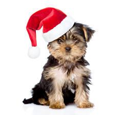 Hintergrundbilder Neujahr Hund Weißer hintergrund Yorkshire Terrier Mütze ein Tier