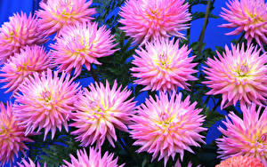 Wallpapers Chrysanthemums Closeup Colored background Pink color Flowers