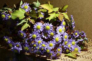 Fotos Chrysanthemen Großansicht Violett Blattwerk Blumen