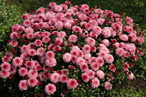 Wallpaper Chrysanths Many Pink color flower