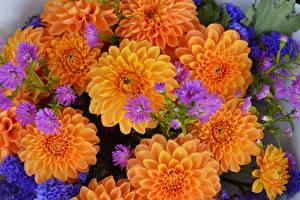 Pictures Dahlias Closeup