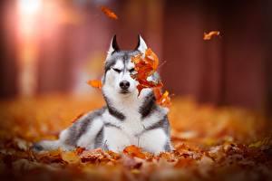 Fotos Hunde Herbst Siberian Husky Blattwerk Siberian Tiere