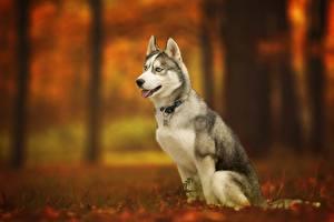 Bilder Hunde Siberian Husky