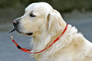 Fotos Hund Retriever Schnauze Labrador Retriever ein Tier