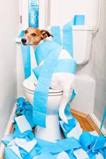 Fotos Hunde WC Jack Russell Terrier Blick Papier Lustige Tiere