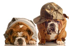 Picture Dogs White background 2 Bulldog Baseball cap Funny Animals