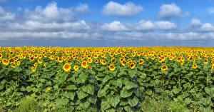 Bilder Acker Sonnenblumen Viel Himmel Wolke Natur