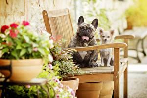 Image French Bulldog Dogs Chihuahua Bench animal