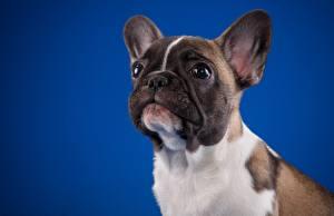 Hintergrundbilder Französische Bulldogge Hund Starren Farbigen hintergrund Tiere