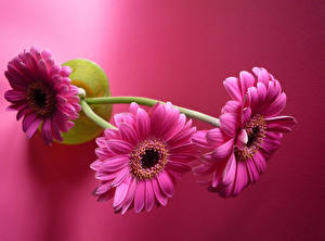 Wallpapers Gerberas Closeup Colored background Pink color Three 3