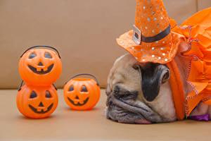 Bilder Halloween Hunde Kürbisse Mops (Hunderasse) Schnauze Schlaf