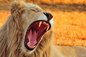 Pictures Lion Canine tooth fangs Roar Tongue Teeth Animals