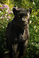 Bilder Schwarzer Panther The Jungle Book 2016 Bagheera Film