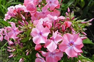 Hintergrundbilder Phlox Hautnah Rosa Farbe