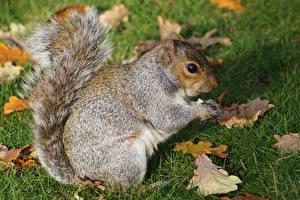 Bilder Eichhörnchen Blattwerk