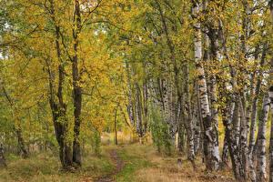Bilder Herbst Birken Weg Bäume