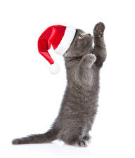 Wallpaper Christmas Cat White background Kittens Winter hat Paws Gray Animals