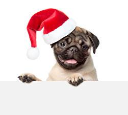 Fotos Neujahr Hunde Weißer hintergrund Mops (Hunderasse) Mütze Starren