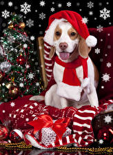 Wallpapers Christmas Holidays Dogs Winter hat Tongue Gifts Scarf Bow knot Beagle
