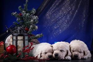 Hintergrundbilder Neujahr Retriever Welpen Drei 3 Tiere