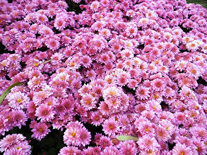 Picture Chrysanthemums Many Pink color Flowers