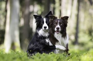 Tapety na pulpit Pies domowy Border collie Dwa 2 Spojrzenie Zwierzęta