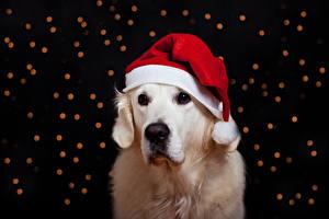 Fotos Hunde Neujahr Retriever Mütze