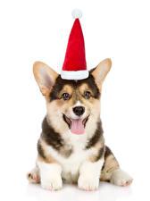 Fotos Hund Neujahr Weißer hintergrund Welsh Corgi Mütze Zunge Blick