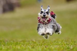 Hintergrundbilder Hunde Laufsport Sprung Zunge Zwergschnauzer Tiere