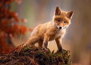 Bilder Füchse Jungtiere Süß Tiere