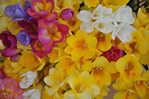 Hintergrundbilder Freesie Hautnah Mehrfarbige Blumen
