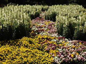 Fondos de escritorio Melbourne Australia Antirrhinum Viola tricolor Muchas Jardíns St Kilda Botanical Gardens flor