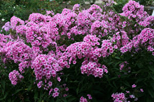 Fotos Phlox Viel Rosa Farbe Blumen