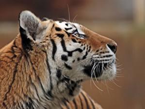 Tapety na pulpit Tygrysy Tygrys syberyjski Z bliska Głowa Zwierzęta