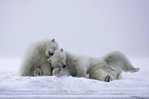 Image Bears Polar bears Two Snow Sleep Animals
