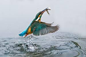 Fotos Vögel Wasser Fische Eisvogel Spritzer