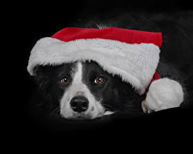 Wallpaper Christmas Dog Black background Snout Winter hat Border Collie animal