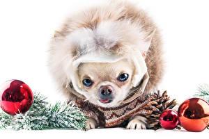 Photo Christmas Dog White background Chihuahua Balls Staring Conifer cone animal